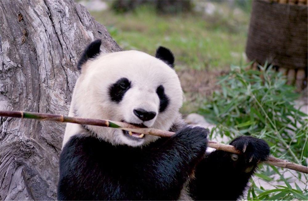 """全世界的孩子都会爱上憨态可掬的大熊猫,但是,你知道"""""""